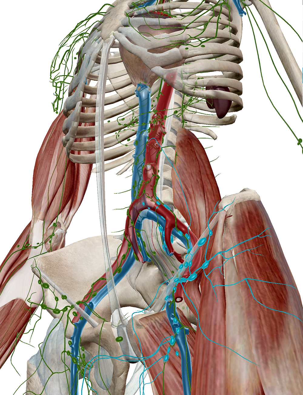 Inguinal lymph node highlighted in blue.