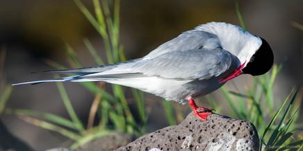 Arctic Tern, Southwest Iceland