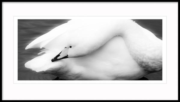 Wooper Swan (Cygnus cygnus), Iceland