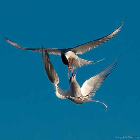 Arctic Terns, Southwest Iceland