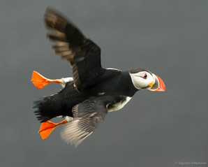 Puffin, Southeast Iceland