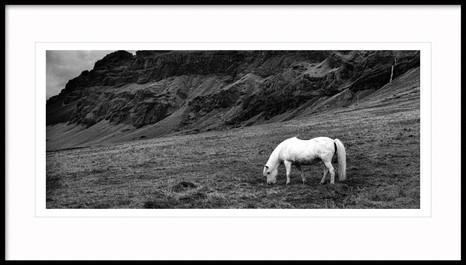 Iceland horse, South Iceland