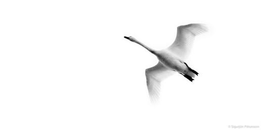 Wooper Swan, East Iceland