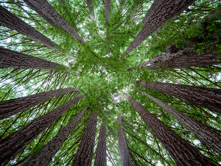Redwoods of Scotland, the Superlatives by Peggy Edwards