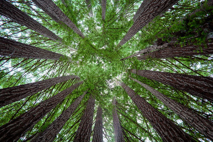 Farity righ Coast Redwoods photo by Tris