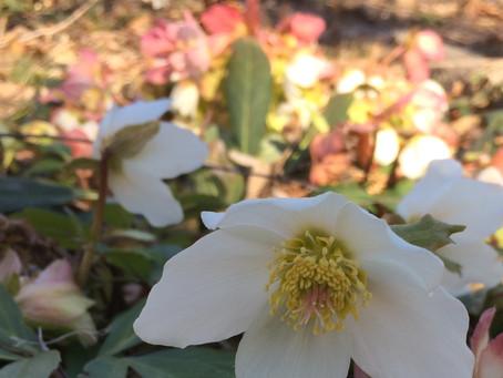 Lenten Rose - Early Riser