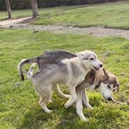 Siberische Husky Pups