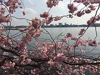 Kirschblüte Alster