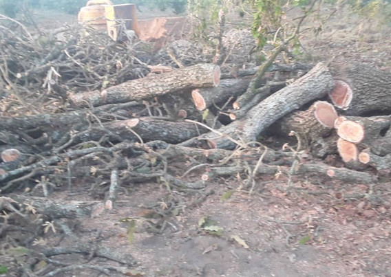 Tree cut at Ongutoi back up 1.jpeg