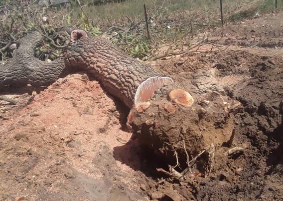Tree cut at Ongutoi back up 3.jpeg