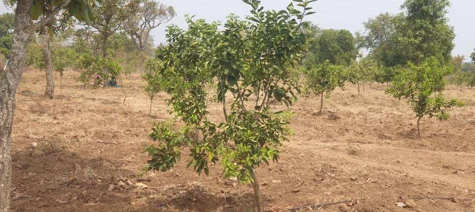 Amumangor Orchards 2.jpg
