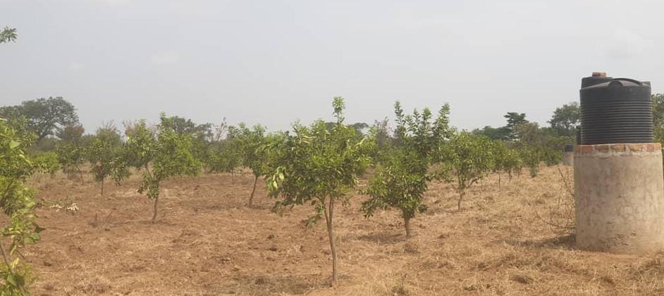 Amumangor Orchards 1.jpg