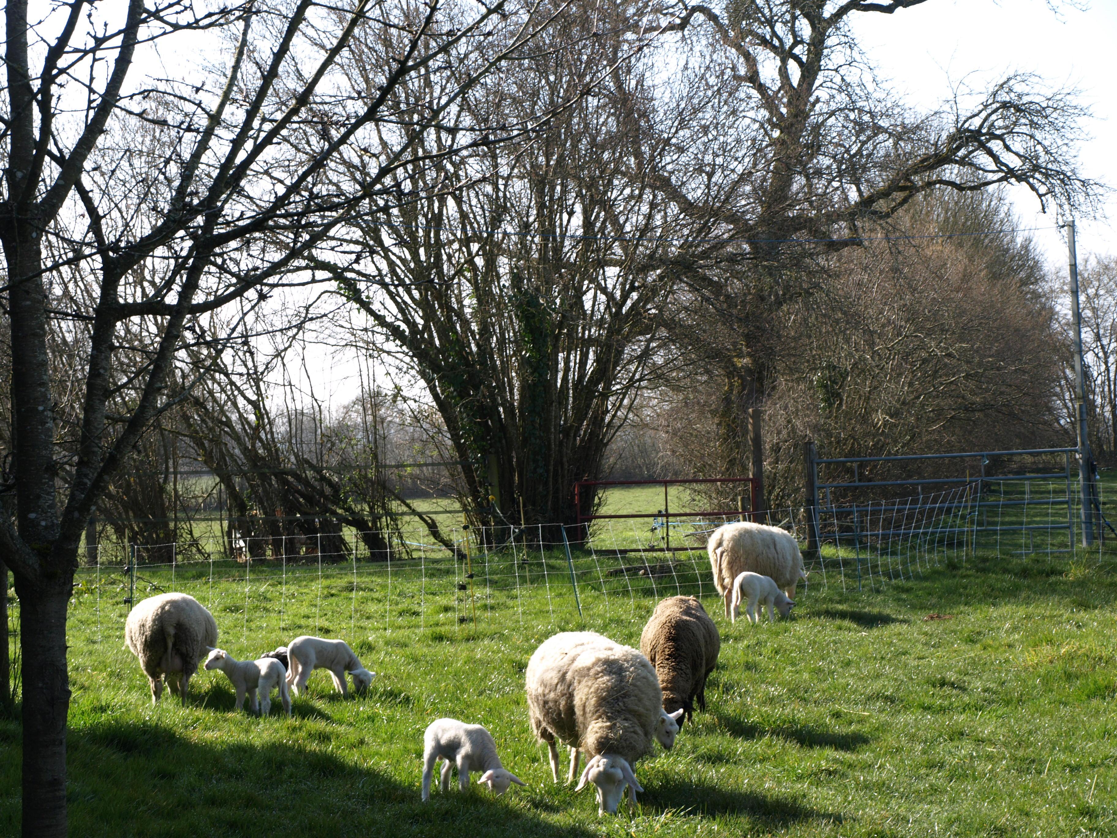Première sortie des agneaux