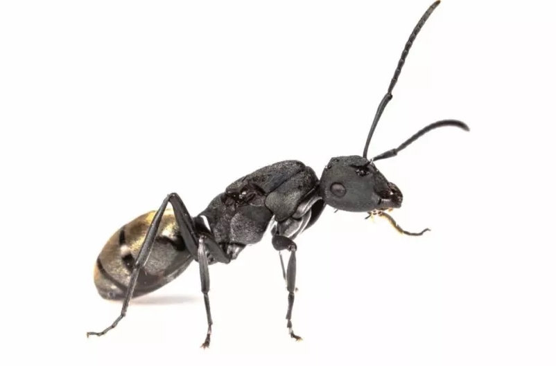 Polyrhachis vermiculosa・Golden Tail Spiny ant・女王アリ