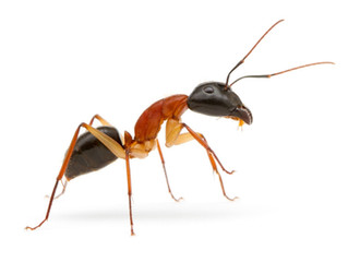 Up coming Queen Ant!