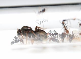 アリの入荷案内です。