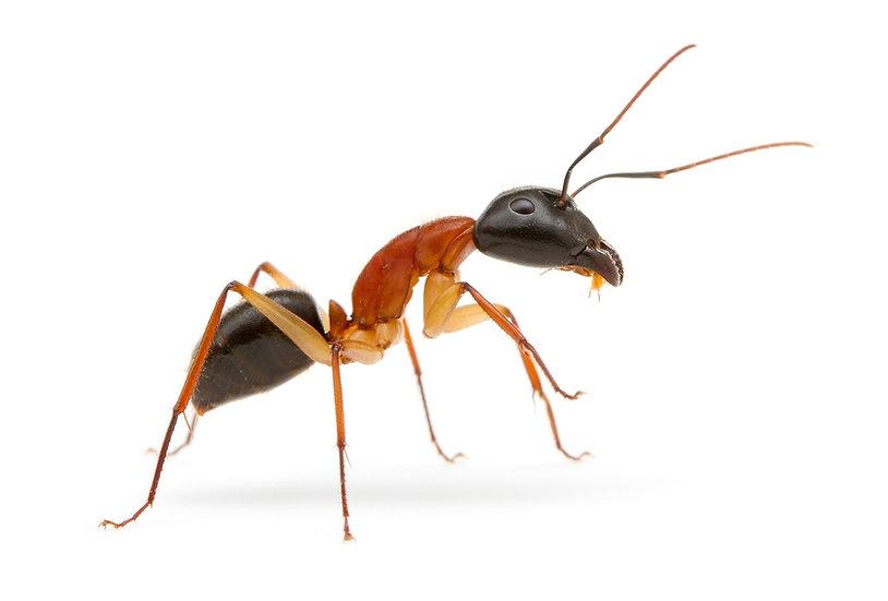 Camponotus Nigriceps・女王アリ