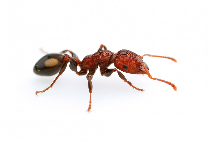 Podomyrma Adelaidae・Muscle Man Ant・女王アリ