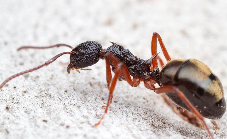 Dolichoderus doriae・Dolly ant・女王アリ