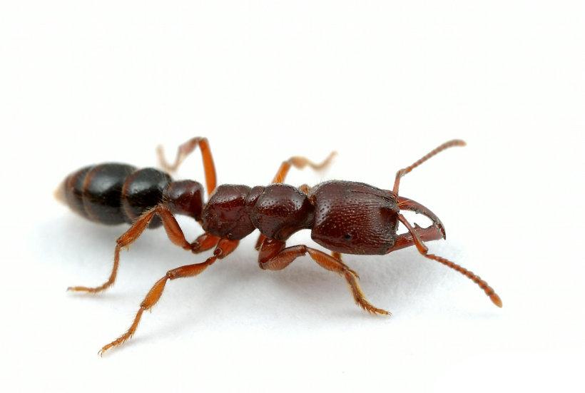 Amblyopone Australis・Dracula Ant・吸血アリ・女王アリ