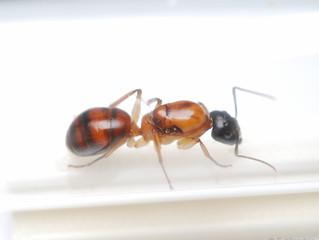 アリの入荷情報です