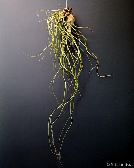 Tillandsia Butzii var. Roseiflora Ehlers・チランジア・エアープランツ