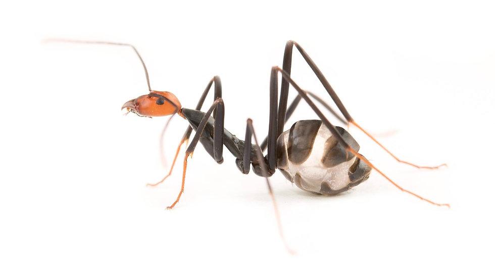Leptomyrmex erythrocephalus ・Spider Ant・女王アリ