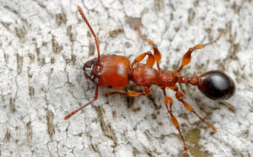 Podomyrma Gratiosa・Muscleman Tree ant・女王アリ