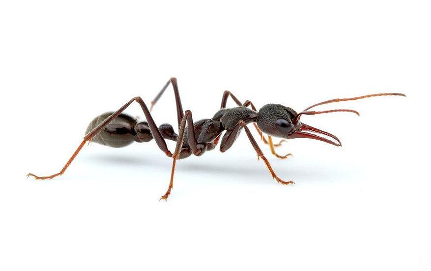 Myrmecia pyriformis ・Giant bull ant・女王アリ