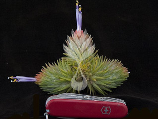 Up coming Tillandsia! Spring are coming~!