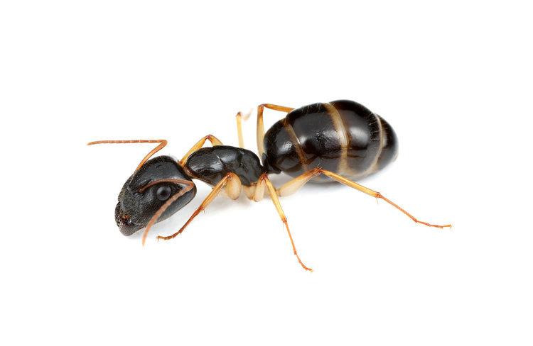 Camponotus Claripes 女王アリ