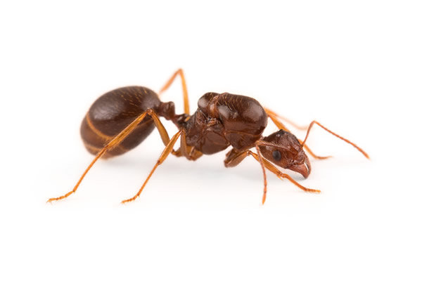 Aphaenogaster Longiceps 女王アリ