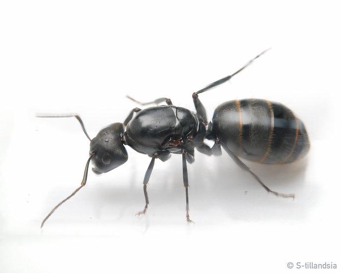 Camponotus japonicus ・クロオオアリ・福島県・