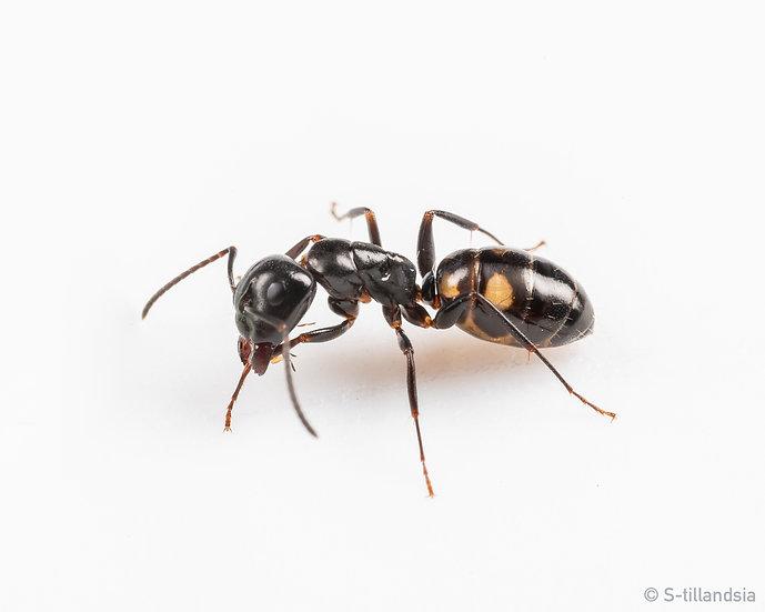 Camponotus Quadrinotatus ・ヨツボシオオアリ・福島県・