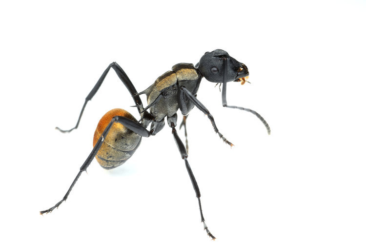 Polyrhachis ammon・Golden tailed spiny ant・女王アリ