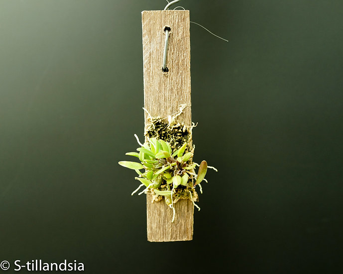 Dendrobium hymenanthum 着生ラン・原種ラン