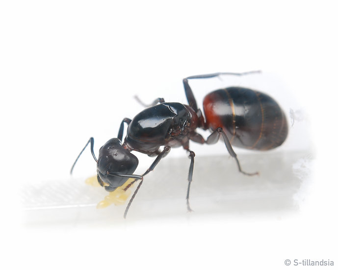 Camponotus obscuripes ・ムネアカオオアリ・福島県・