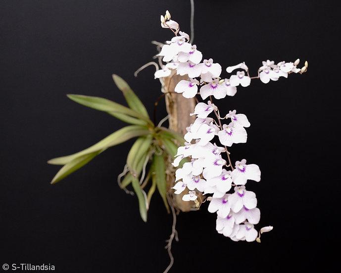Lonopsis utricularioides 着生ラン・原種ラン・無葉ラン