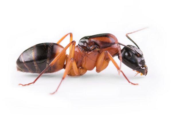 Camponotus Consobrinus 女王アリ