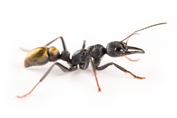 Myrmecia piliventris ・Golden tailed bull ant・女王アリ