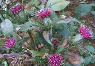 Herbal Series - 白朮 (Bai Zhu) Atractylodis Rhizoma