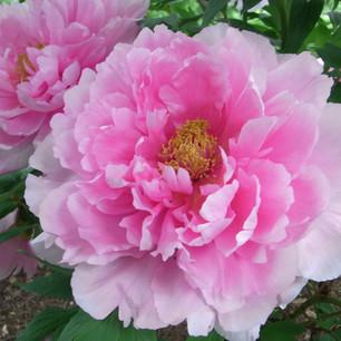Herbal Series - 白芍 (Bai Shao) Paeonia Lactiflora