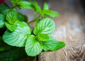 Plant Profile: 薄荷 (Bòhé) Peppermint (Mentha x piperita)