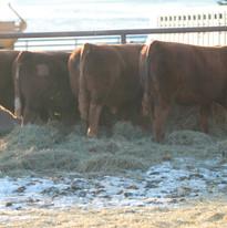 Sale bulls 2014