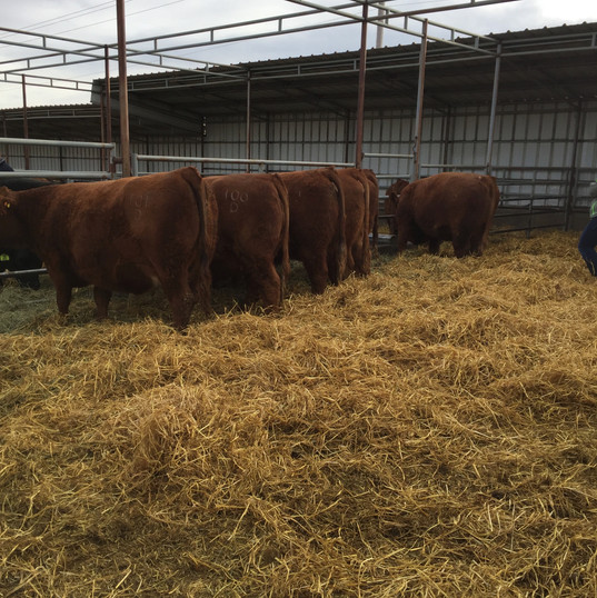 Sim Power Sale Heifers