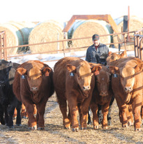 Sale heifers & Tuffy