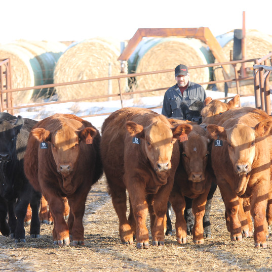 Sale heifers & Tuffy