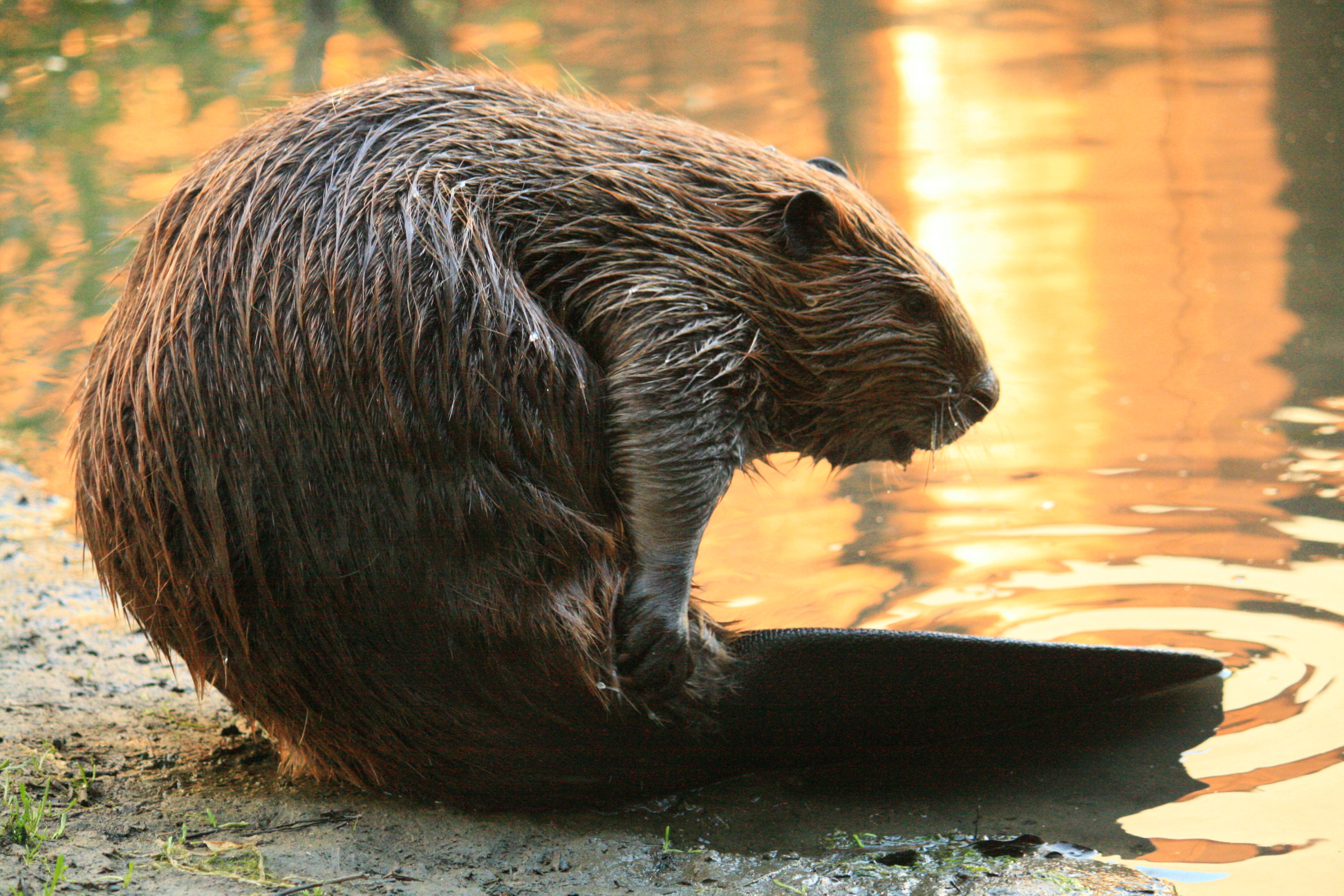 Beaver_Yearling_Grooming_Alhambra_Creek_2008