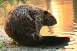 Beaver_Yearling_Grooming_Alhambra_Creek_2008