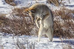 p-coyote-hunting-Courtesy-Rocky-Mountain-National-Park-Ann-Schonlau_54_990x660